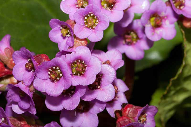 A close up horizontal image of the deep pink flowers of Bergenia cordifolia growing in the garden pictured in bright sunshine on a soft focus background.