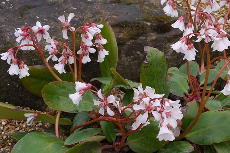 A close up horizontal image of the white flowers with red stems of Bergenia emeiensis growing in the garden.