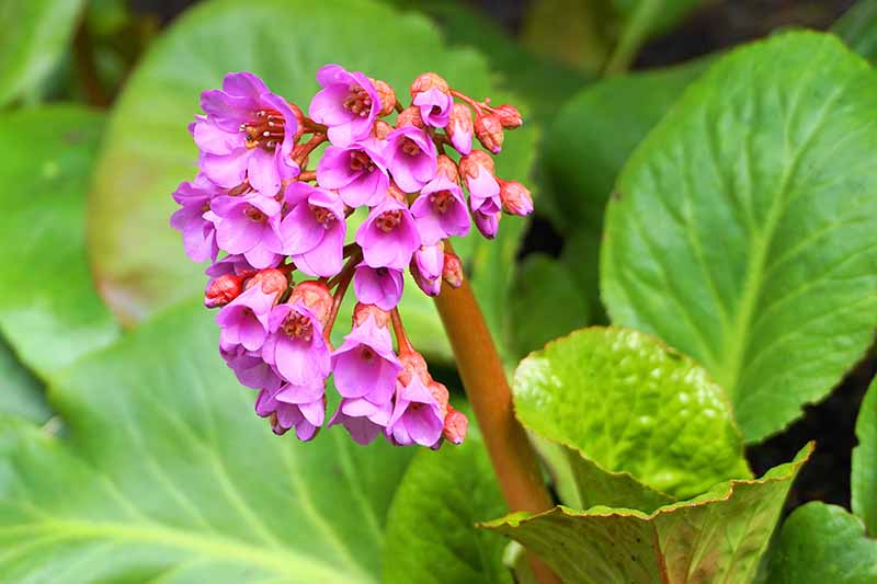 A close up horizontal image of pink flowers surrounded by light green foliage pictured on a soft focus background.