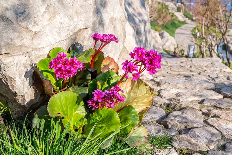 A close up horizontal image of bergenia flowers growing next to a rocky coastal pathway pictured in bright sunshine.