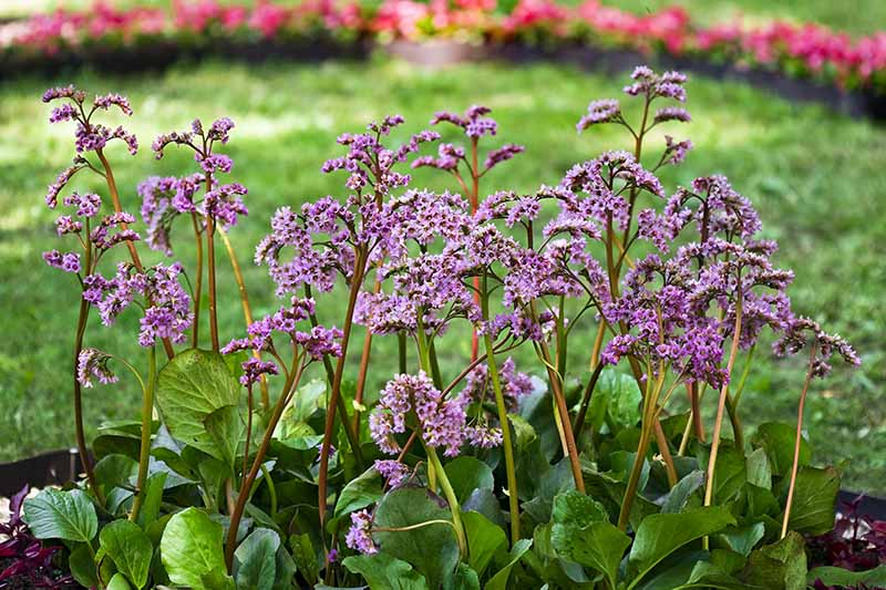 A horizontal image of bergenia growing in a mixed perennial border with a lawn and red flowers in soft focus in the background.