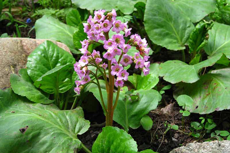 A close up horizontal image of pink flowers and large green leaves growing in a rocky garden.