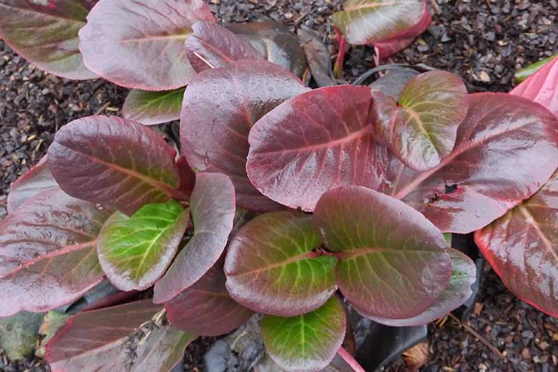 A close up horizontal image of the deep red foliage of Bergenia purpurascens growing in the garden surrounded by bark mulch.