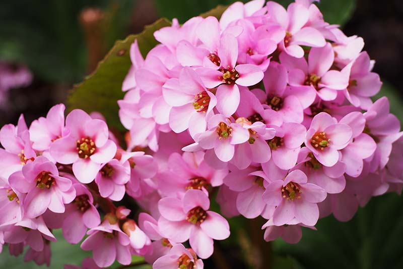 A close up horizontal image of the light pink flowers of Bergenia stracheyi pictured on a soft focus background.
