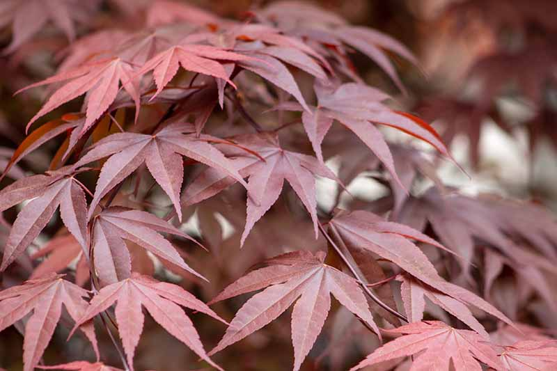 A close up horizontal image of the deep red autumn foliage of a Japanese maple tree growing in the garden.
