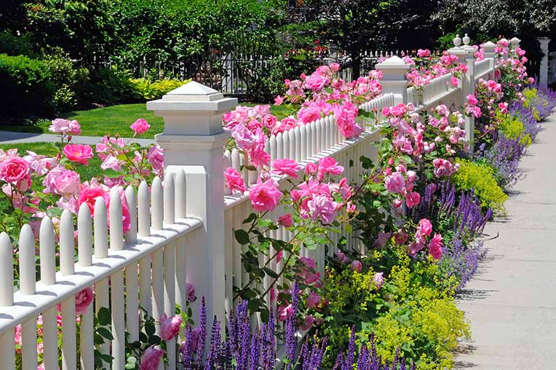 A horizontal image of a white fence planted with bright pink roses and a variety of other perennials to create a pleasing, formal look beside a pathway.