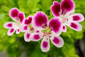15 of the Best Scented Geranium Varieties