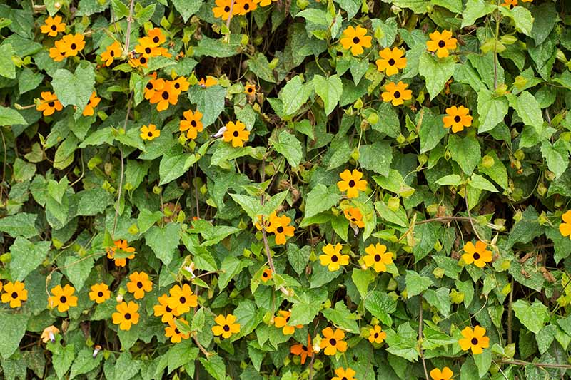 A close up horizontal image of black-eyed Susan vines growing outside a residence.