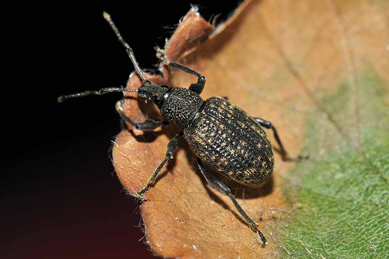 A close up horizontal image of a black weevil feeding on a leaf pictured on a black background.