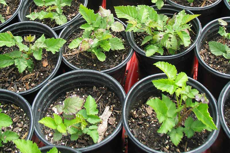 A close up horizontal image of seedlings growing in small plastic pots.