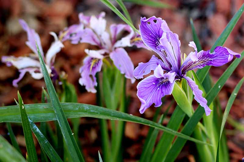 A close up horizontal image of bright purple iris flowers pictured on a soft focus background.