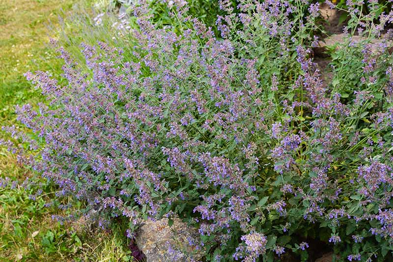 A close up horizontal image of flowering catmint growing in a garden border.