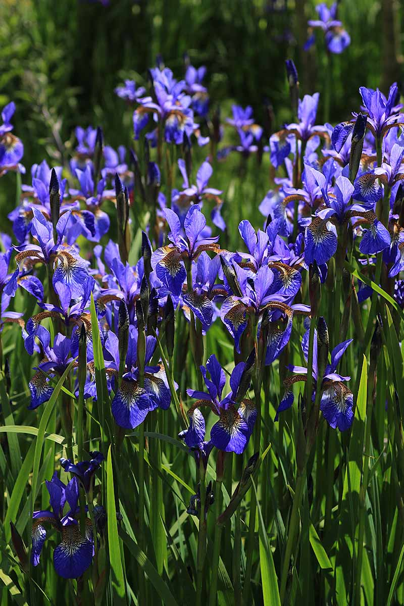 A close up vertical image of bright blue Beardless irises growing in the garden pictured in bright sunshine.