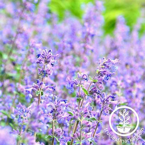 A close up square image of the bright blue flowers of 'Blue Moon' catmint pictured on a soft focus background. To the bottom right of the frame is a white circular logo with text.