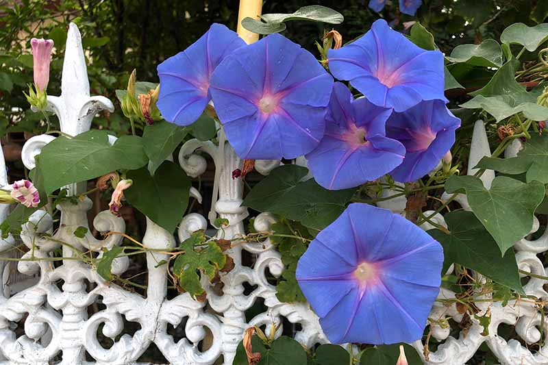 A close up horizontal image of blue Ipomoea purpurea flowers growing on a white metal fence.