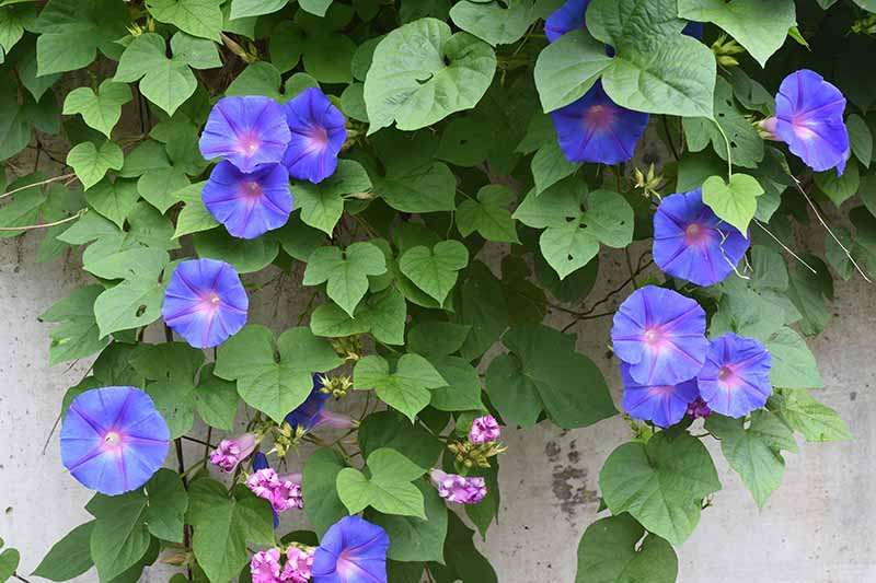 A close up horizontal image of blue morning glory flowers growing up the side of a residence.