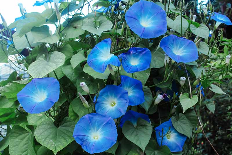 A close up horizontal image of bright blue morning glory flowers growing in the garden.
