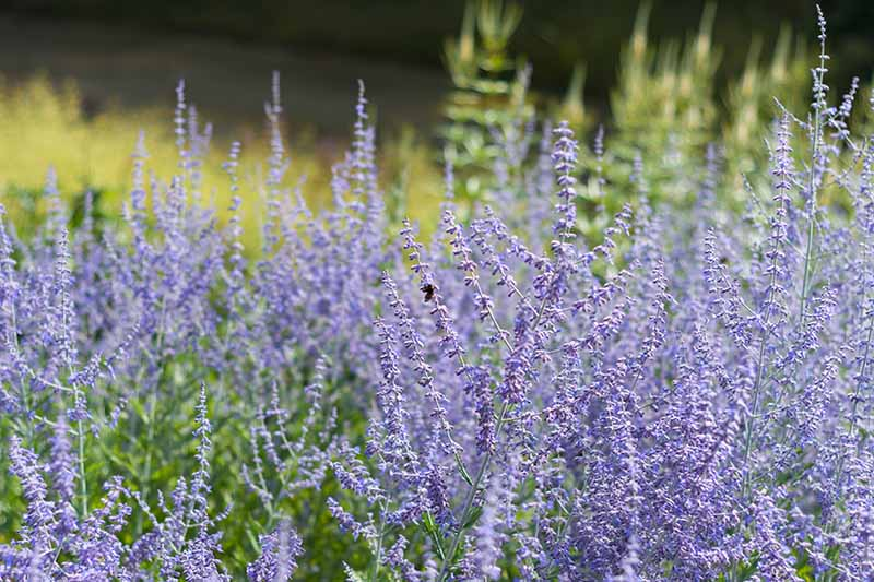 A close up horizontal image of Salvia yangii growing in the garden pictured with pollinators feeding on the flowers.