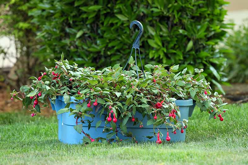 A close up horizontal image of a fuchsia plant in a self-watering container set on a lawn with a shrub in soft focus in the background.