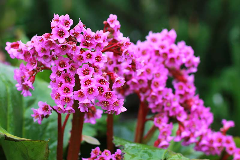 A close up horizontal image of pink bergenia flowers growing in the garden pictured on a soft focus background.