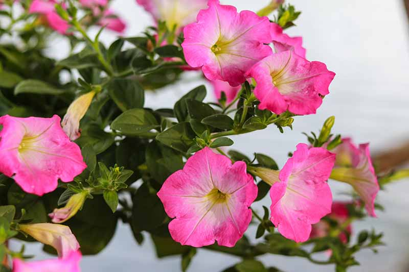 A close up horizontal image of pink morning glory flowers growing in a container indoors.