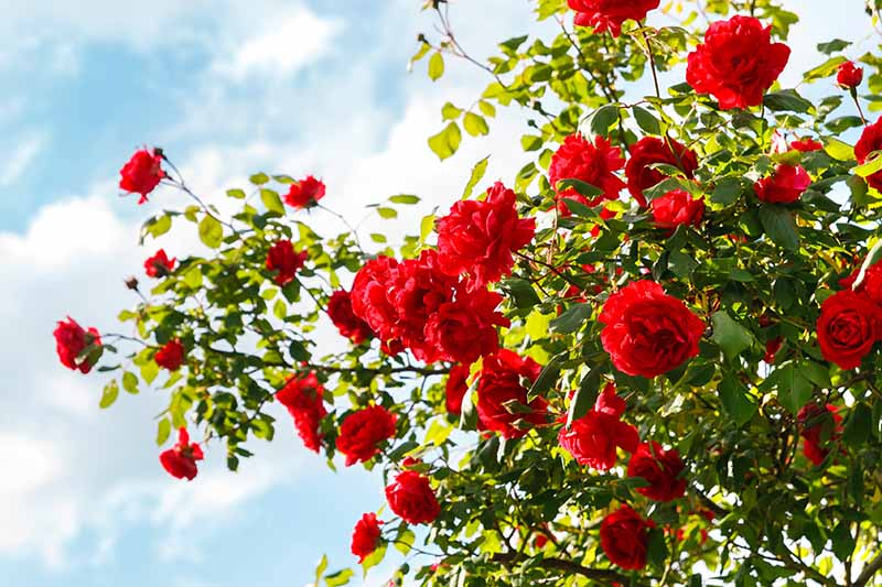 A horizontal image of an abundance of red roses growing in the garden pictured on a blue sky background.