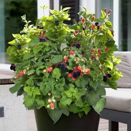 A close up horizontal image of a potted Rubus 'Baby Cakes' plant set on an outdoor patio.