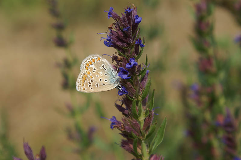 A close up horizontal image of a butterfly feeding on hyssop blooms pictured on a soft focus background.