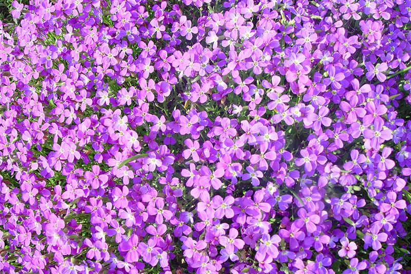 A close up horizontal image of bright purple Malcolmia maritima (Virginia stock) flowers growing as a carpet in the garden.