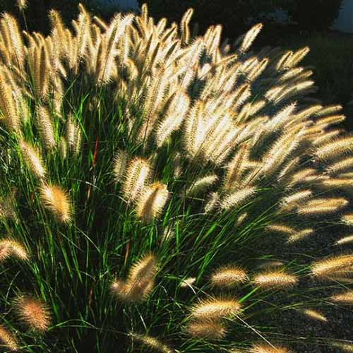 A close up square image of Pennisetum 'Cassian' growing in the garden pictured in soft evening light.