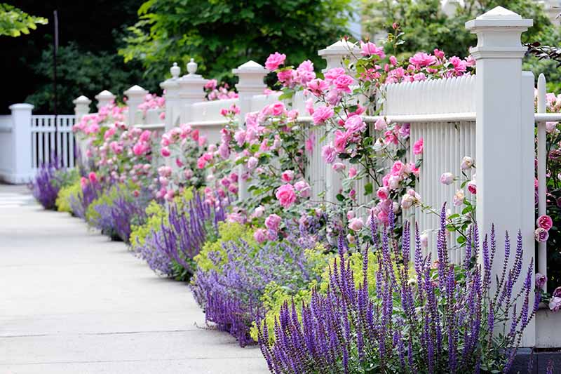 A horizontal image of a white picket fence with a border planted next to a concrete path filled with pink roses, catmint, and other perennials.