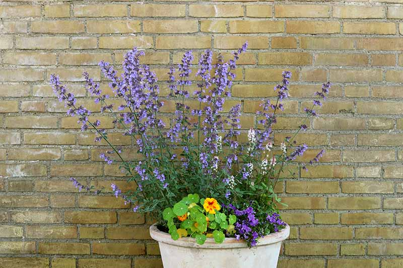 A close up horizontal image of a small terra cotta container planted with catmint and nasturtium flowers against a brick wall.