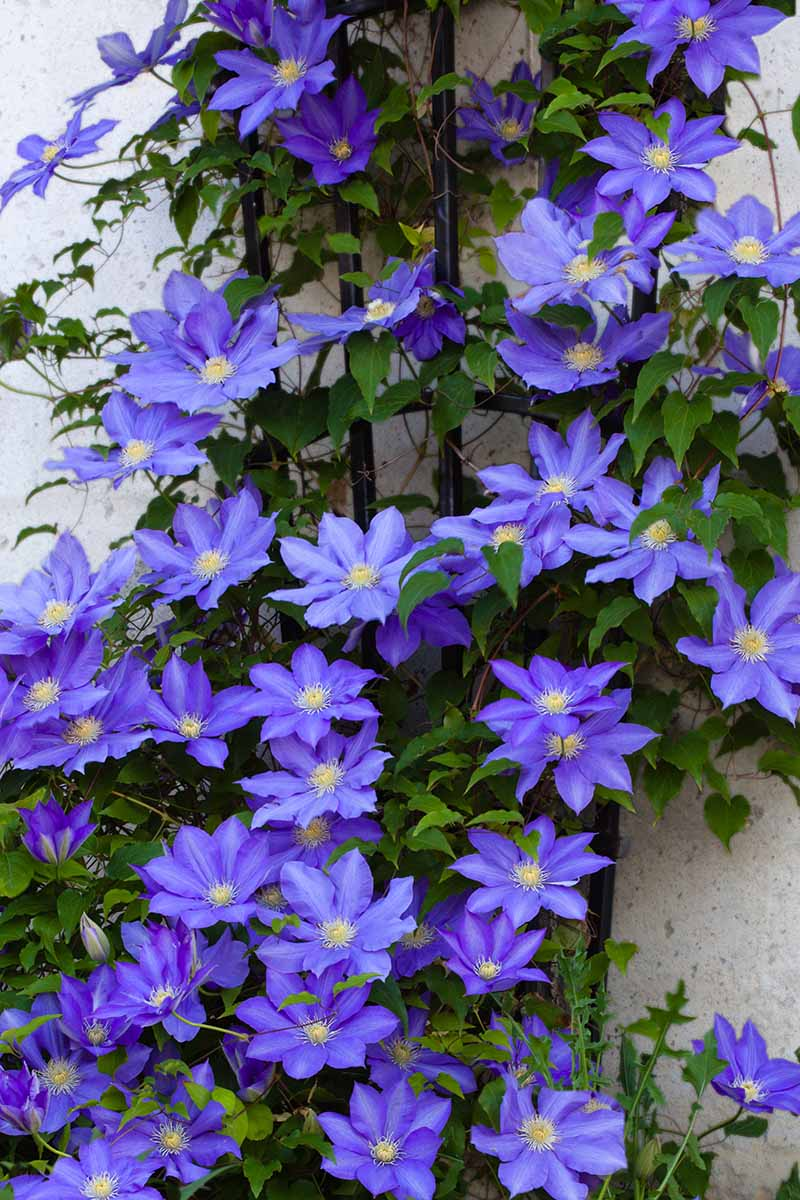A close up vertical image of purple clematis vines growing up the side of a residence attached to a trellis.