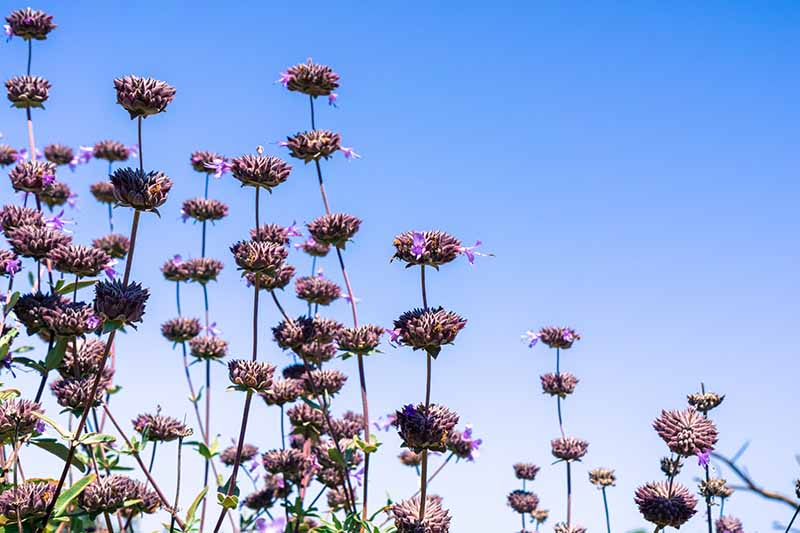 A horizontal image of Cleveland sage (Salvia clevelandii) flowers starting to go to seed pictured on a blue sky background.