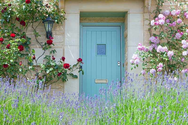 A horizontal image of a duck-egg blue front door on a stone house flanked by climbing roses with purple flowers in the foreground.