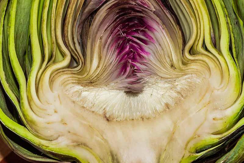 A close up horizontal image of a cross section of a globe artichoke.