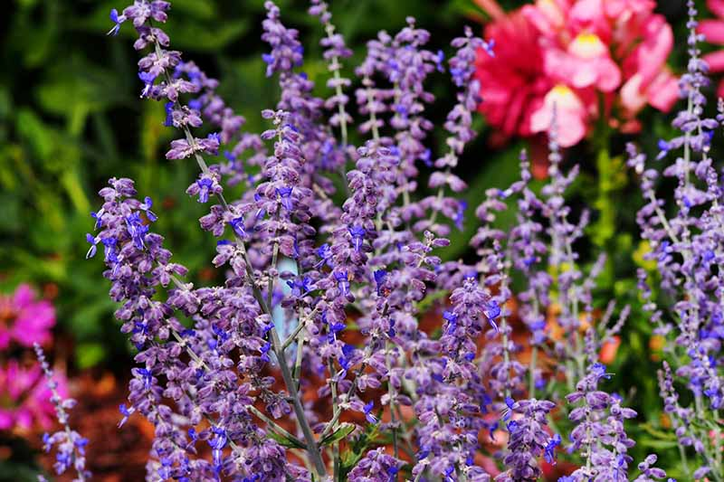 A close up horizontal image of bright blue and purple flowers growing in the garden pictured on a soft focus background.