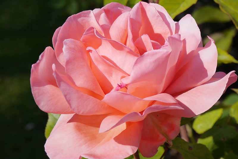 A close up horizontal image of a pink flower pictured in bright sunshine on a soft focus background.