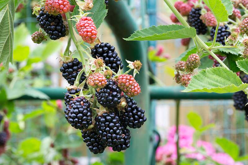 A close up horizontal image of a cluster of ripening berries growing in a pot on a patio.