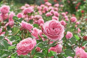 9 Reasons Why Roses May Not Bloom