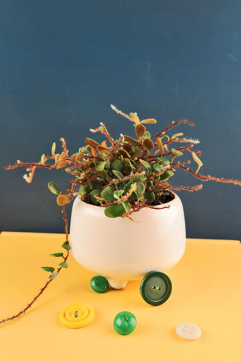 A close up vertical image of a small creeping button fern growing in a white ceramic pot set on a yellow surface.