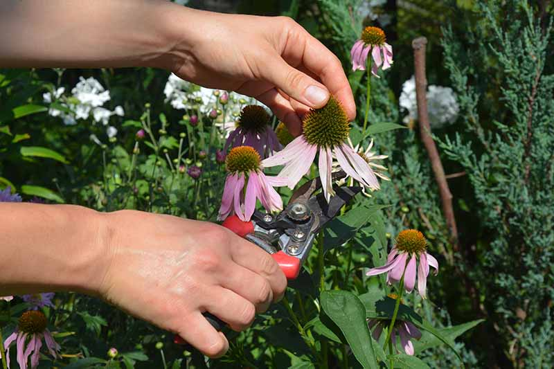 A close up horizontal image of two hands from the left of the frame holding a pair of pruners and deadheading a coneflower.