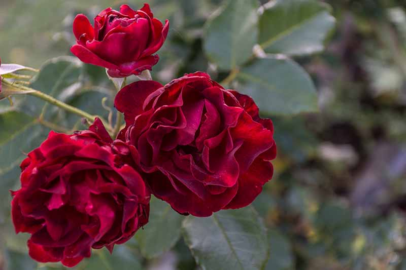 A close up horizontal image of deep red 'Dr. Huey' flowers growing in the garden pictured on a soft focus background.