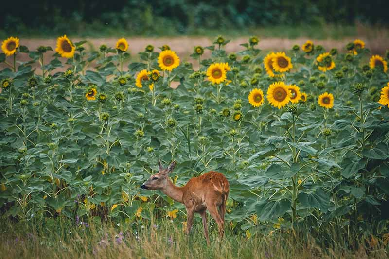 A horizontal image of a large stand of sunflowers with a deer in the foreground.
