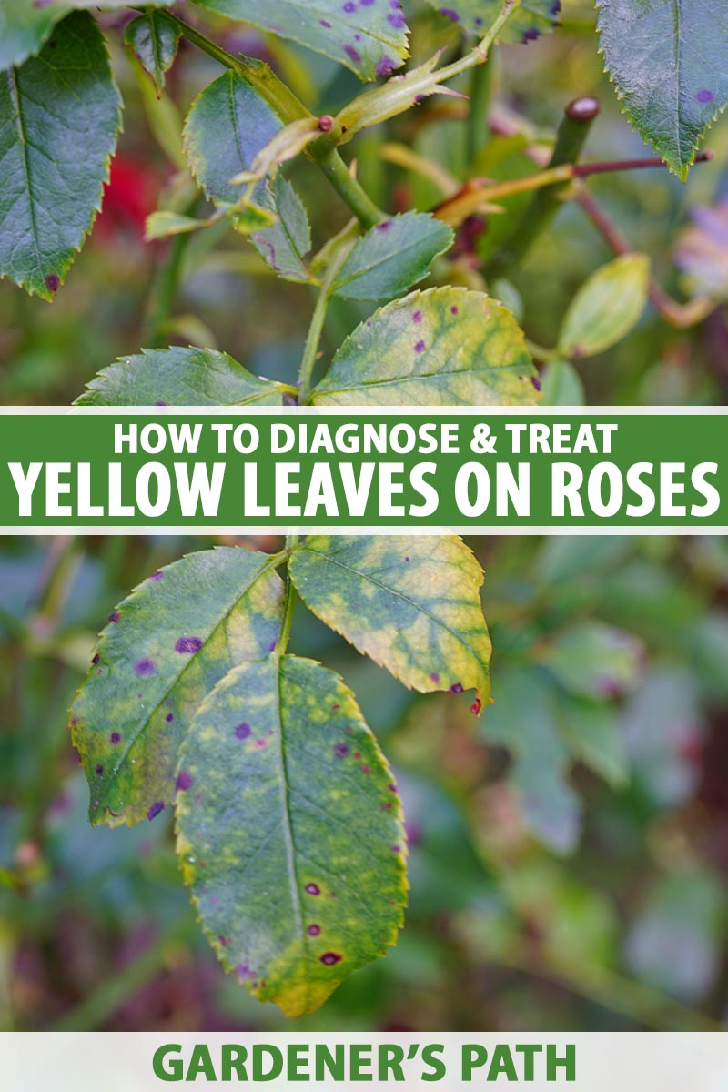 A close up vertical image of a rose shrub with yellow foliage and spots indicating the presence of a fungal disease. To the center and bottom of the frame is green and white printed text.