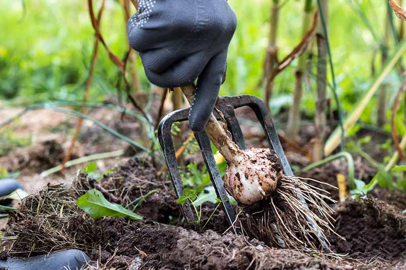A close up horizontal image of a gloved hand holding a garden fork and digging up a garlic bulb from the garden.