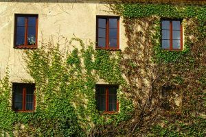 Are Climbing Vines Harmful to Your Home?