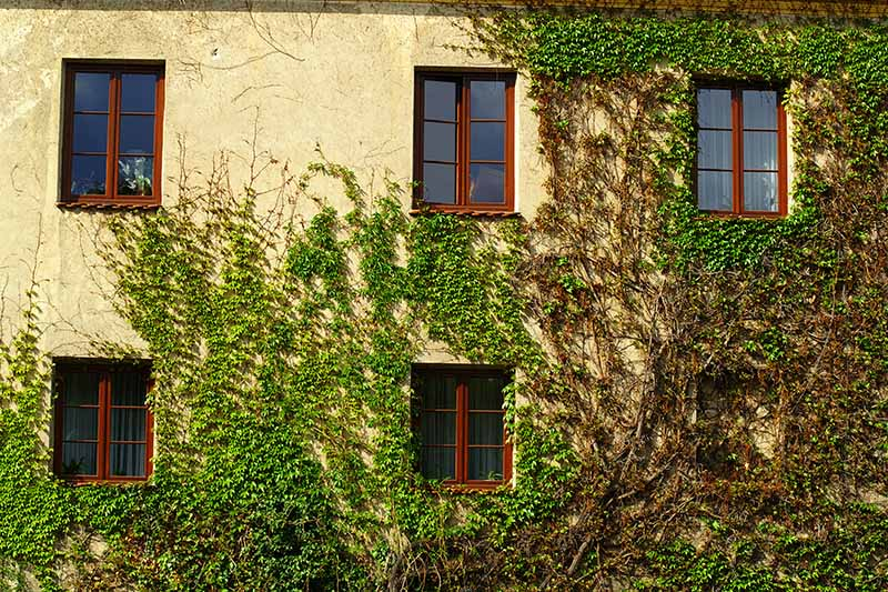 A close up horizontal image of the outside of a residence covered in large ornamental vines.