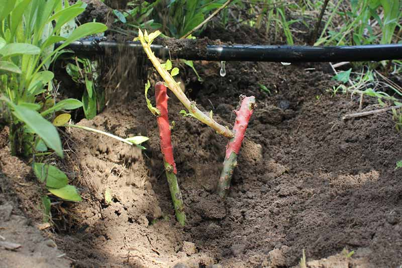A close up horizontal image of a drip irrigation line installed in a garden border.