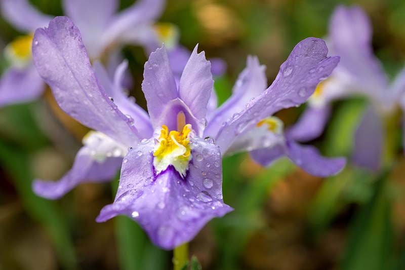 A close up horizontal image of a crested iris flower with water droplets on the petals, fading to soft focus in the background.